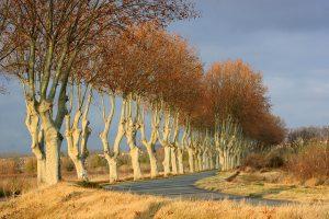 Une route bordée de platanes en Languedoc